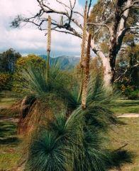 Xanthorrhoea Australis (Austral Grass Tree)