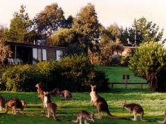 Native Kangaroos at the Grampians
